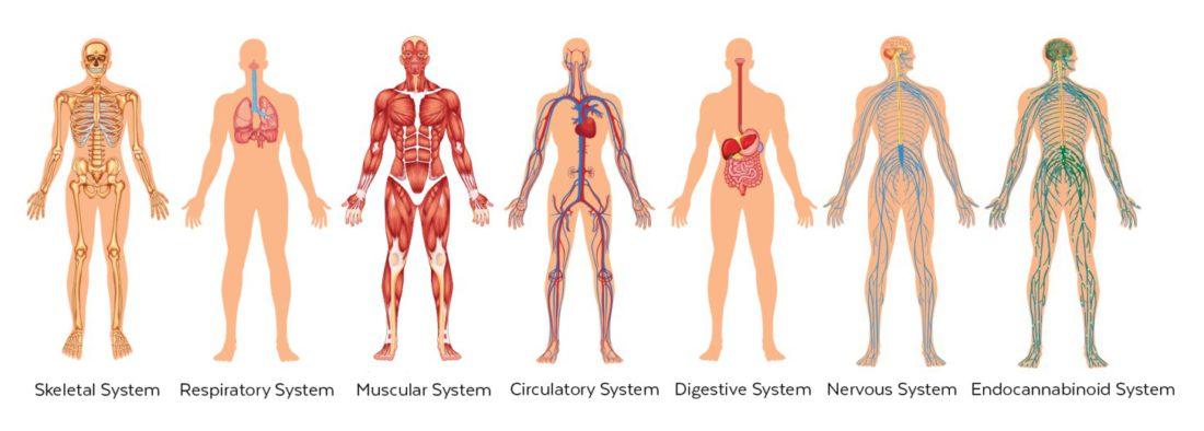 Risultati immagini per endocannabinoid system